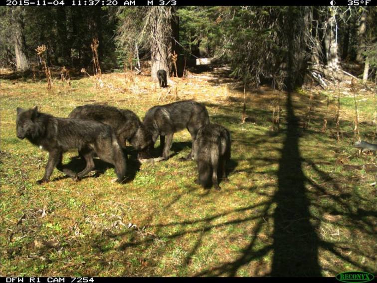 Shasta Pack wolves, November 2015. Photo courtesy of CDFW.