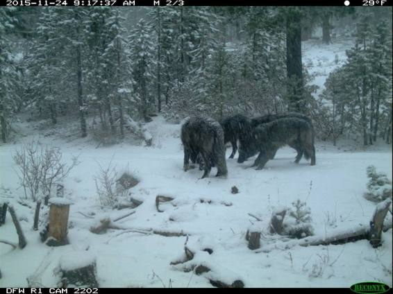 Shasta Pack wolves, November 2015. Photo courtesy of CDFW