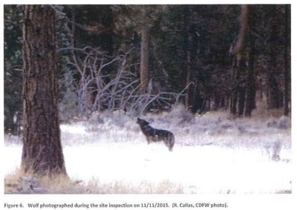 Shasta Pack wolf, November 2015. Photo courtesy of CDFW.