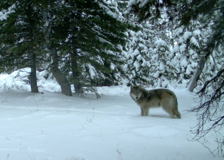 Minam Pack wolf in the Eagle Cap Wilderness, Dec 14, 2014. Photo courtesy of ODFW.