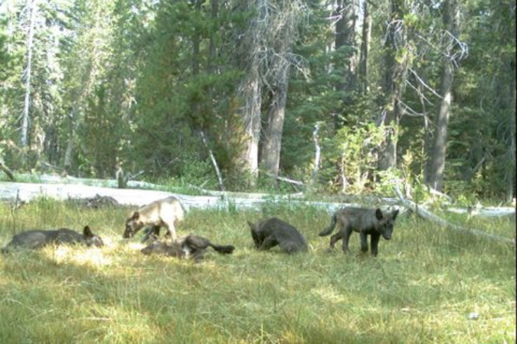 Shasta Pack pups, August 2015. Photo courtesy of CDFW.
