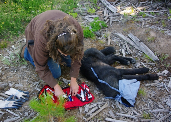 A Wenaha pup being weighed, Aug 20, 2010. Photo courtesy of ODFW.