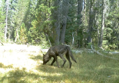 Adult wolf in Siskiyou County, August, 2015. Photo courtesy of CDFW.