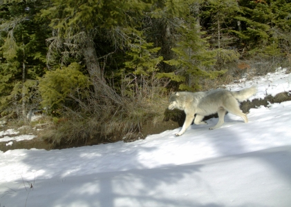 Snake River Pack wolf, Dec 17, 2013. Photo courtesy of ODFW.