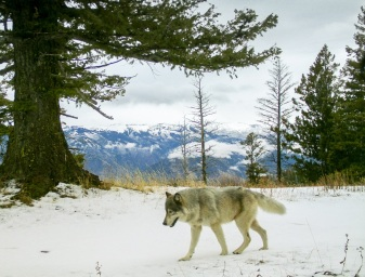Snake River Pack wolf, Dec 4, 2014. Photo courtesy of ODFW.