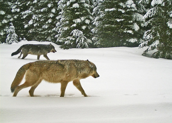 Two Walla Walla Pack wolves, Jan 16, 2016. Photo courtesy of ODFW.
