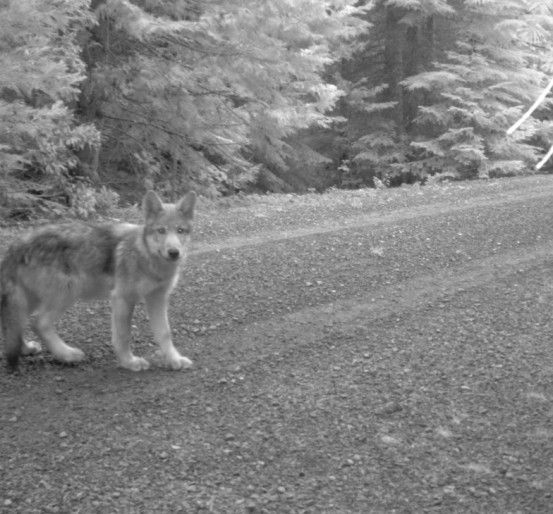 Rogue Pack wolf pup, July 12 2014. Photo courtesy of USFWS.