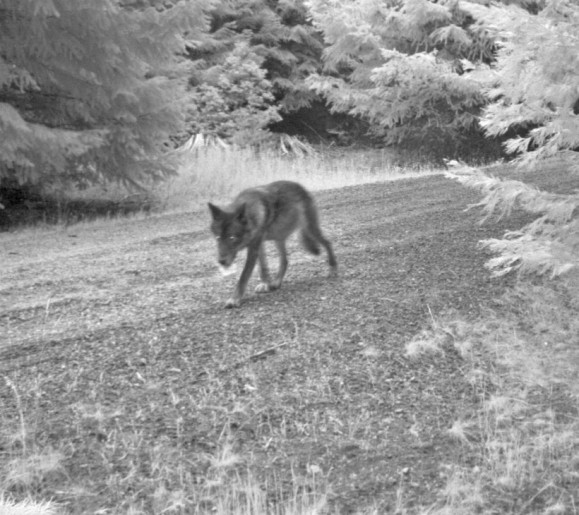 Breeding female of the Rogue Pack, July 12 2014. Photo courtesy of USFWS.