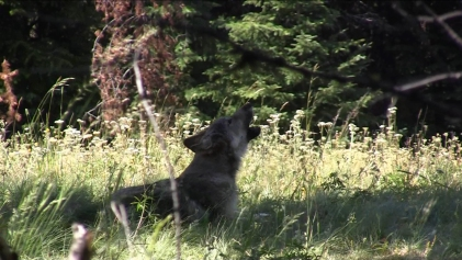 Snake River Pack pup howling, July 25, 2012. Photo courtesy of ODFW.