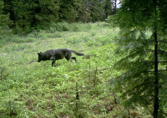 Snake River Pack wolf, June 26, 2012. Photo courtesy of ODFW.