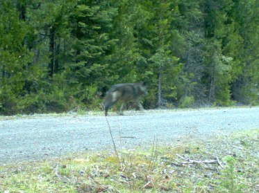 Breeding female of the Rogue Pack, May 3 2014. Photo courtesy of USFWS.