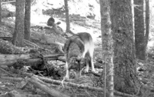 The first known photo of OR-7, captured on a hunter's trail camera near Willow Lake in Southern Oregon, Nov 14th, 2012. Photo courtesy of Allen Daniels.