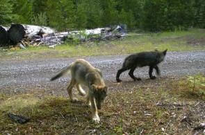 Rogue Pack wolf pups, Rogue River-Siskiyou National Forest, July 12th, 2016. Photo courtesty of USFWS.