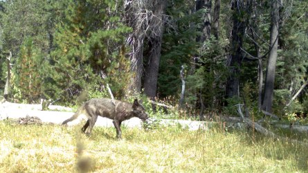 Gray wolf in Siskiyou County. Photo courtesy of CDFW.