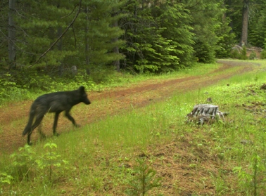 Rogue Pack yearling, June 2014. Photo courtesy of USFWS.