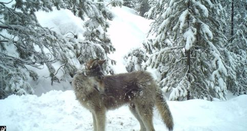 Loup Loup Pack wolf, Feb 2016. Photo courtesy of John Danielson / WDFW.