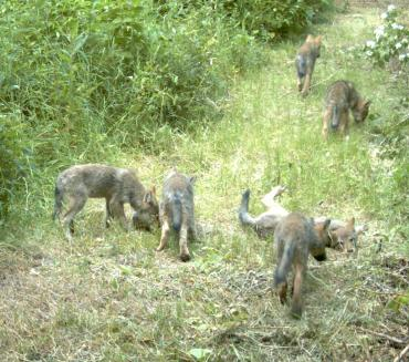 Lookout Pack pups, July 2008. Photo courtesy of Conservation NW.