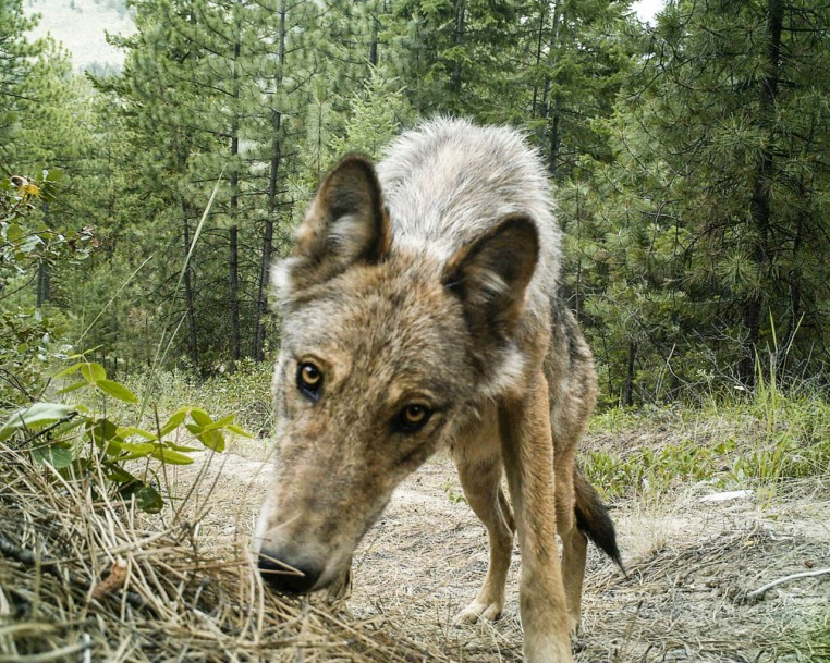A Lookout Pack wolf. Photo courtesy of David Moskowitz.