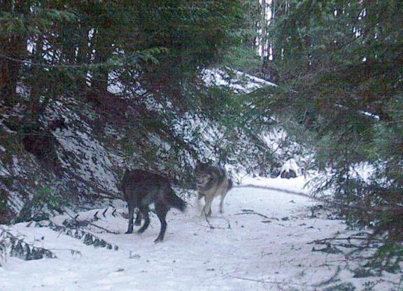 Carpenter Ridge Pack wolves, photo courtesy of WDFW.