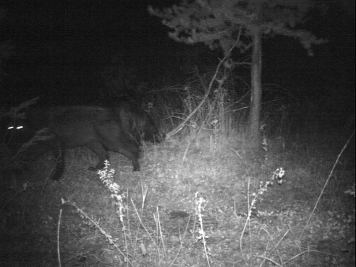 Smackout Pack wolf at night. Photo courtesy of WDFW.