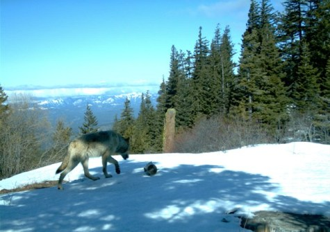 Teanaway Pack wolf. Photo courtesy of the Western Transportion Institute.