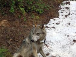 Teanaway Pack wolf after being radio collared. Photo courtesy of WDFW.
