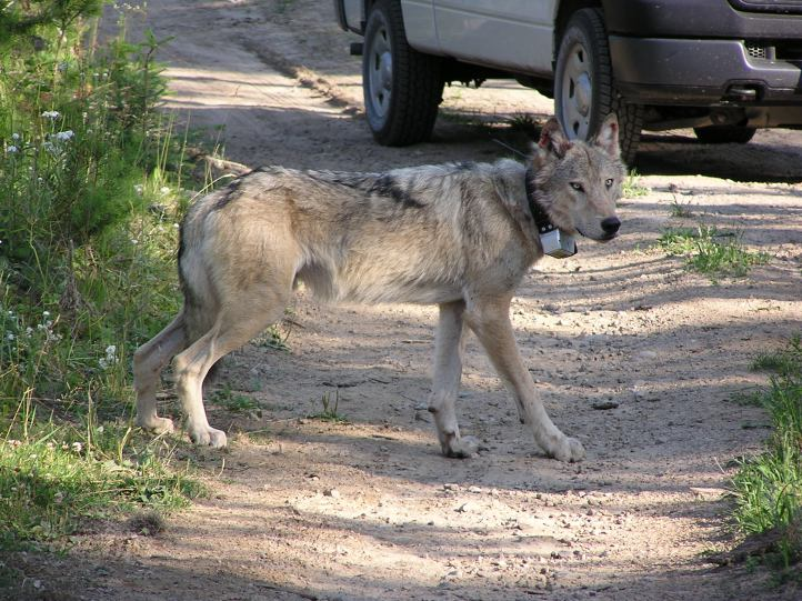 WA-398M - Diamond Pack male wolf radio collared July 2009. Photo courtesy of WDFW.