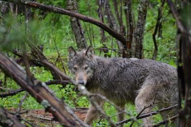 Nc'icn Pack male wolf after being radio collared, June 5th 2012. Photo courtesy of Colville Confederated Tribes.