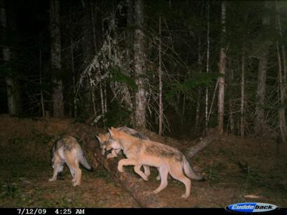 Diamond Pack pups, July 2009. Photo courtesy of WDFW.