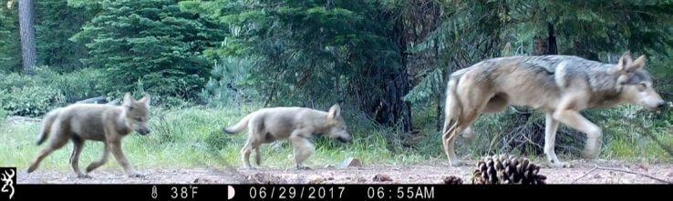 170706-gray-wolves-camera-02_1