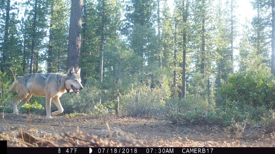Adult gray wolf in Lassen National Forest, July 2018. Photo by T. Rickman, USFS.