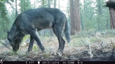 Adult dark gray wolf in Lassen National Forest, August 2018. Photo by T. Rickman, USFS.