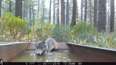 Adult gray wolf drinking from water guzzler in Lassen National Forest, August 2018. Photo by T. Rickman, USFS.