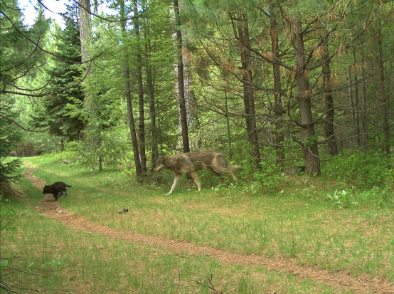 Two members (one subadult and one pup) of the Catherine Pack on private property in eastern Union County in May 2017. Photo by ODFW.