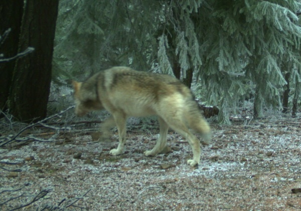 Images of two wolves in the northern portion of Oregon's Cascade Mountains were captured on remote ODFW cameras on the Mt Hood National Forest. Photos taken Jan. 4, 2018.