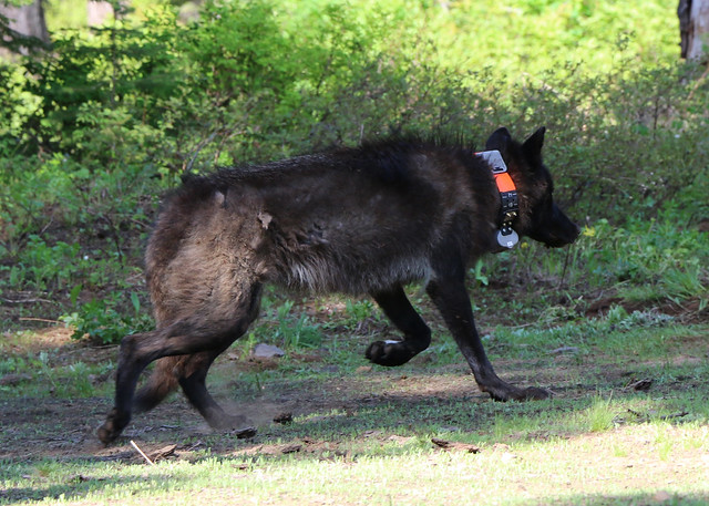 OR28. A 72 lb yearling female wolf from the Mt. Emily pack was captured and GPS collared on 6/7/2014. Photo courtesy of ODFW. More information. Download high resolution image.
