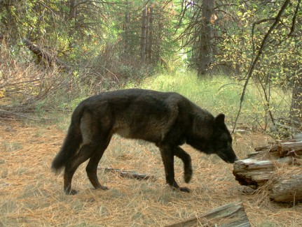 A wolf from the Wenaha Pack was photographed by a remote camera in northern Wallowa County on Sept. 21, 2016.