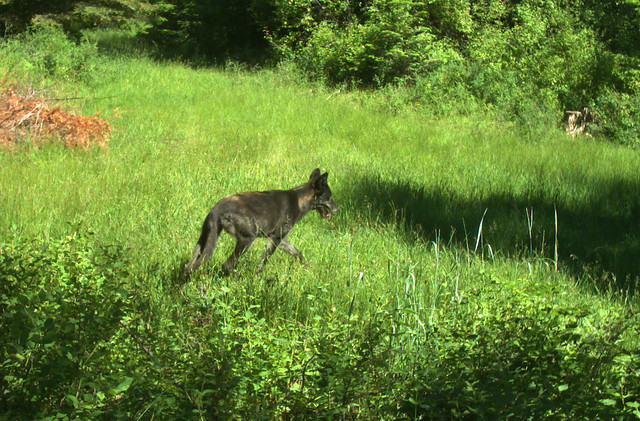 A young wolf from the North Emily group of wolves in Umatilla County. Remote camera image taken June 25, 2017.
