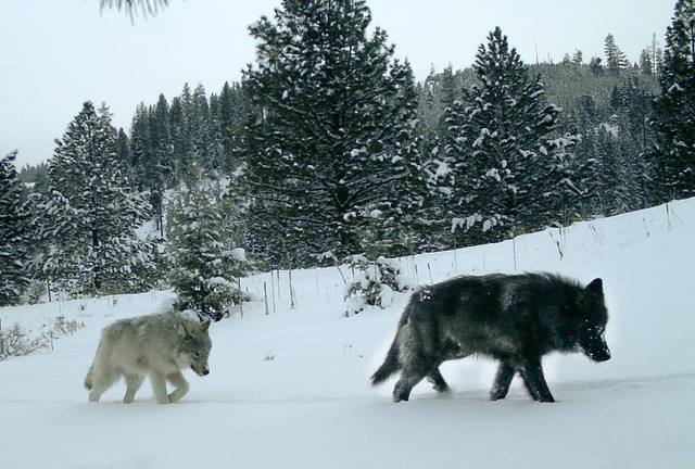 Two wolves from the newly discovered Middle Fork Pack on U.S. Forest Service land in the Imnaha WMU in Wallowa County in December 2017. Photo by ODFW.
