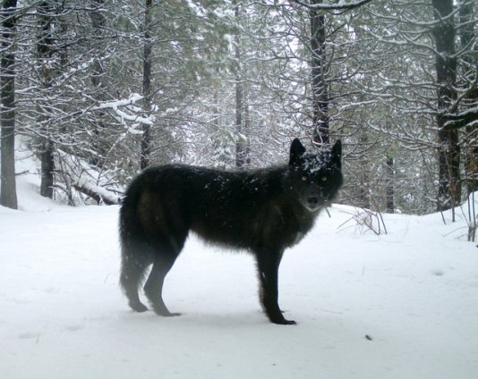 A wolf of the Wenaha Pack captured on a remote camera on U.S. Forest Service land in northern Wallowa County in February 2017. Photo by ODFW.