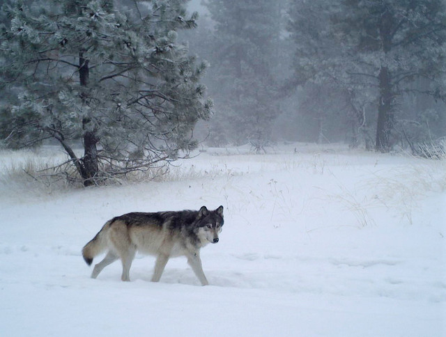 The breeding male of the new Chesnimnus Pack caught on camera during the winter survey on U.S. Forest Service land in northern Wallowa County in December 2018. Photo by ODFW.