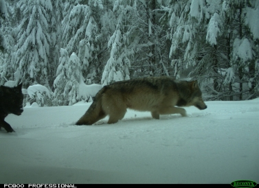 Three different wolves from the Indigo group were seen on a remote camera, Feb. 20, 2019 in the Umpqua National Forest. Photos courtesy of US Fish and Wildlife Service.