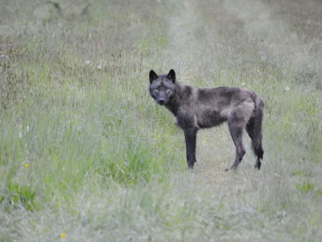 Male of the Diobsud Creek Pack. GoSkagit.com