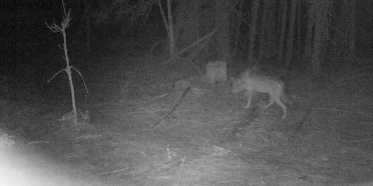 Trail camera image of a White River wolf on the eastern slope of Mt. Hood, 2019. Photo courtesy Defenders of Wildlife and Cascadia Wild