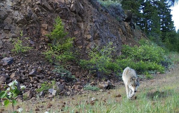 Teanaway wolf. WDFW Photo