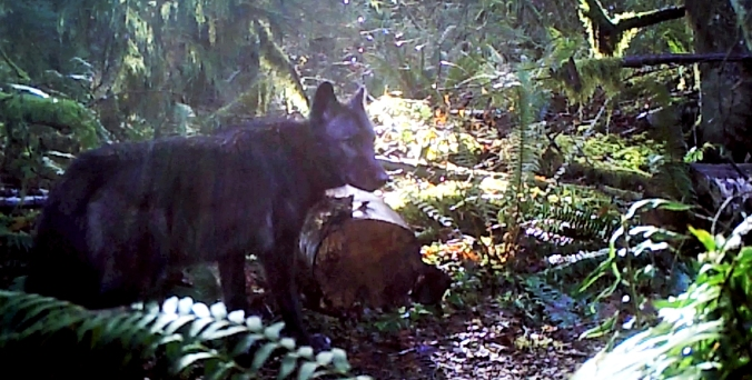 Washington Department of Fish and Wildlife photo of the male member of the new Diobsud Creek pack in Skagit County.