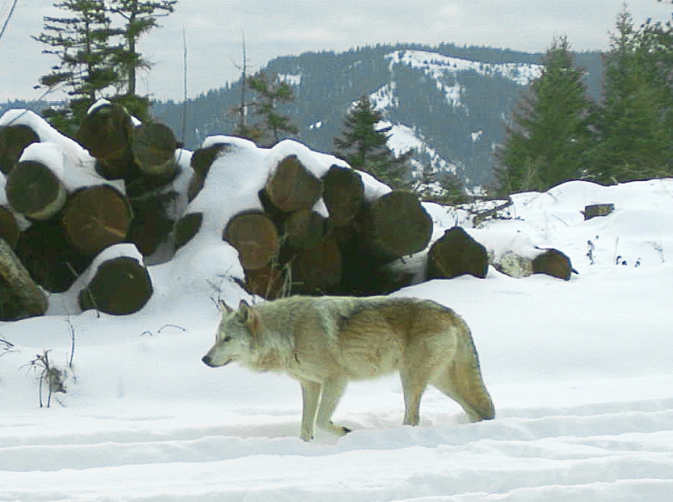 The breeding female of the Walla Walla Pack captured on a remote camera on private property in northern Umatilla County in December 2017. Photo by ODFW.