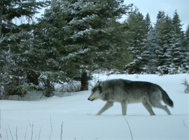 The breeding male of the Walla Walla Pack captured on a remote camera on private property in northern Umatilla County in February, 2019. Photo by ODFW.