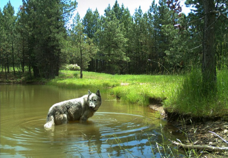 OR30 cooling off in a pond in the Wenaha Pack area, captured on a remote camera on U.S. Forest Service land in northern Wallowa County in June, 2019. Photo by ODFW.