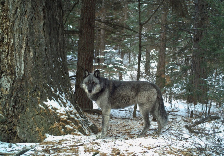 New breeding female of the Wenaha Pack for 2019, captured on remote camera on U.S. Forest Service land in northern Wallowa County in December, 2018. Photo by ODFW.